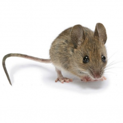 Poison-free rodent management